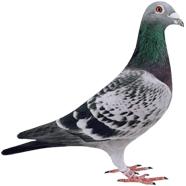 breeding centre Drdeweerd pigeons
