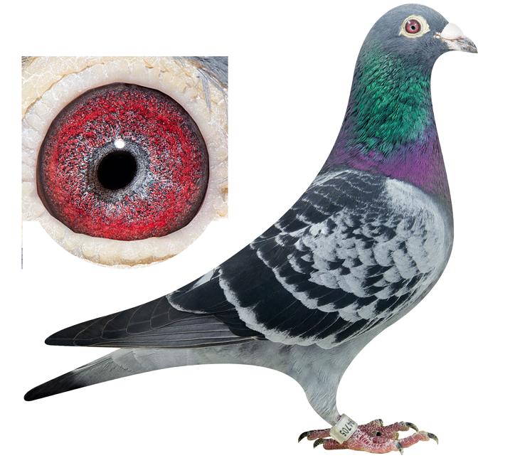 Drdeweerdpigeons   See our finest Pigeons